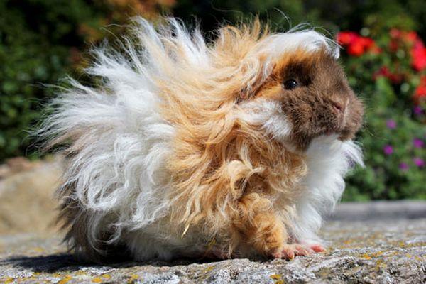 Le Lunkarya, un cochon d'Inde à la fourrure de mouton