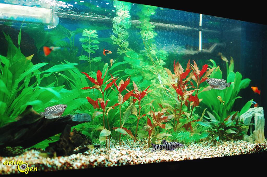 Un aquarium avec des gouramis animogen for Bac communautaire poisson rouge