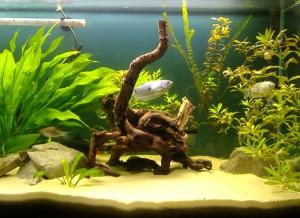Un aquarium avec des Gouramis