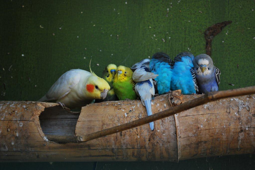 Comportement des perroquets : hiérarchie et dominance, les idées reçues