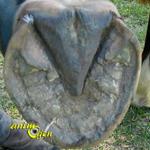 Santé : l'entretien des sabots de nos chevaux