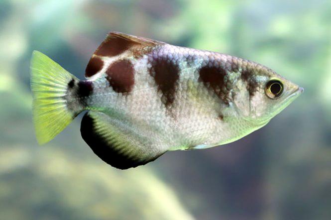 Les qualités de physionomiste du poisson archer