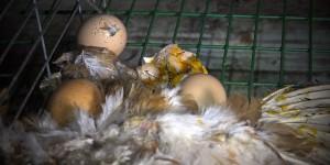 SOS : sauvez les poules du Gaec du Perrat
