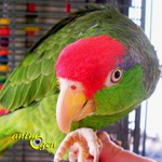 L'Amazone à joues vertes, ou Amazona viridigenalis