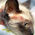 Santé : les maladies de la peau chez le chat (1ère partie)