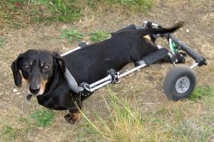 Le nez au secours de la paralysie des pattes chez le chien Jasper,Teckel (ou Dachshund)