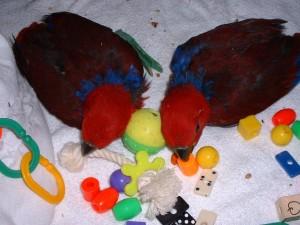 Couleur, consistance et matière, les préférences des perroquets en matière de jouets
