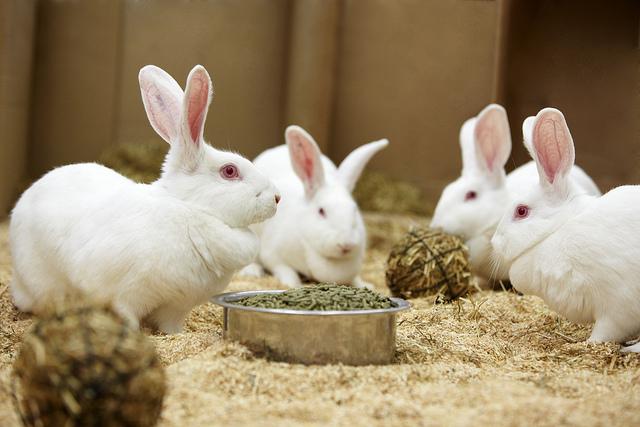 Santé des lagomorphes : digestion et intolérance alimentaire chez les lapins