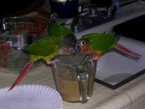 L'alimentation de nos perroquets durant le sevrage