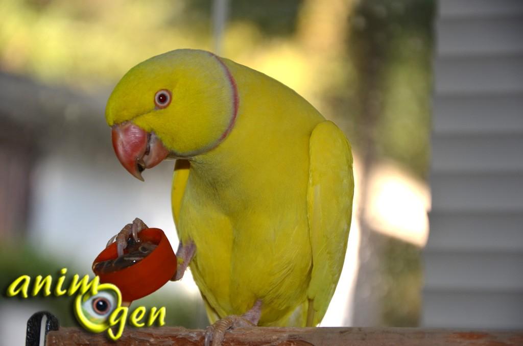 Les fruits de la passion jaunes (ou grenadilles) pour les perroquets