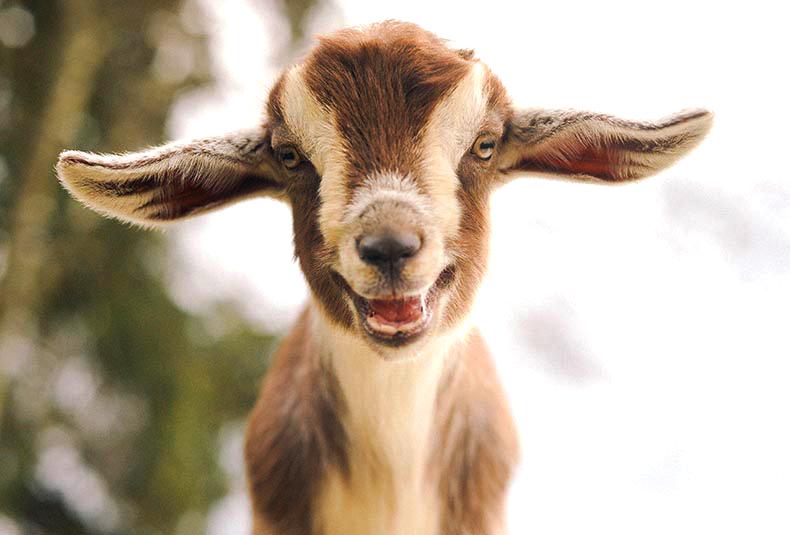 Les chèvres se souviennent-elles longtemps de la voix de leurs petits ?