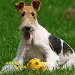 Le Fox Terrier, un chasseur par instinct