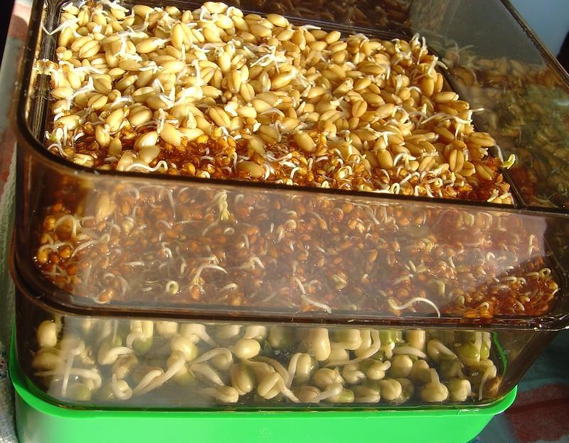 Alimentation : comment préparer des graines germées pour nos perroquets ?