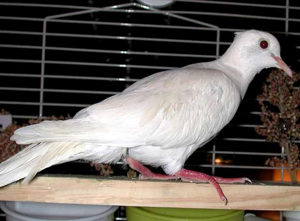Taille, diamètre et emplacement idéal des perchoirs de nos colombes