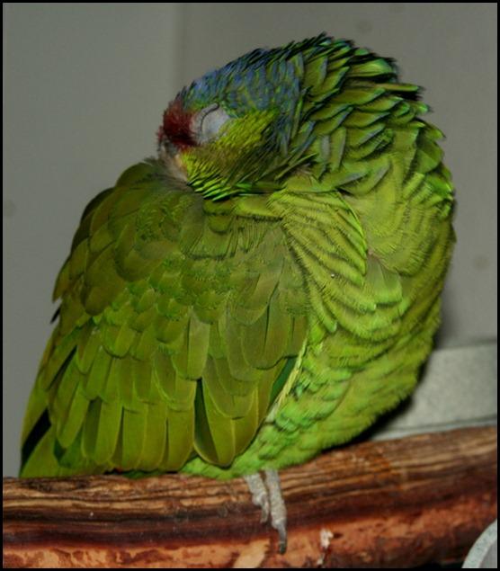 Les maladies partagées par l'homme et le perroquet