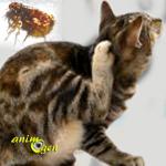 Les puces chez le chat : comment les identifier et les éliminer ?