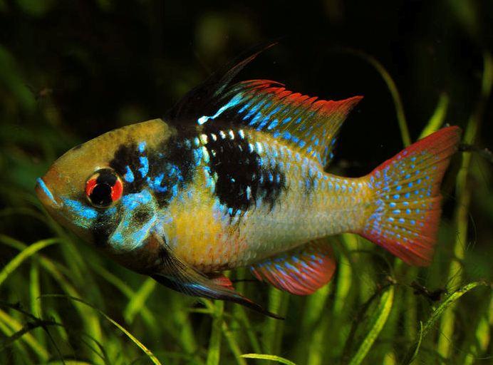L'Apistogramma ramirezi, dit ramirezi, ou Papiliochromis ramirezi, un Cichlidé d'exception