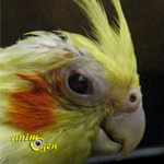 Santé : la conjonctivite chez les perroquets (causes, symptômes et traitement)