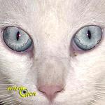 La surdité congénitale chez les chats blancs aux yeux bleus