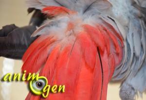 Quelle est l'utilité du lissage de plumes chez nos perroquets ?