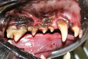 Santé : la maladie parodontale chez le chien (causes, prévention, symptômes,traitement)