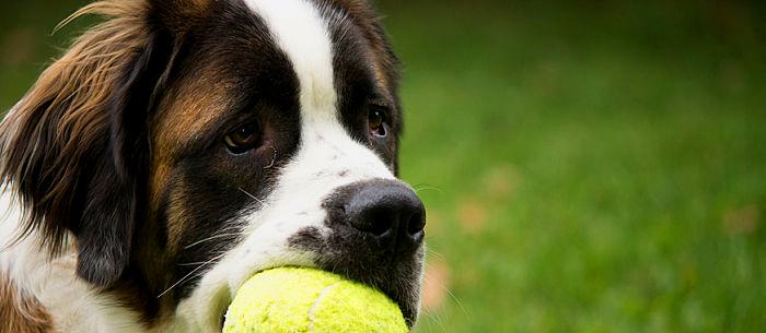Devons-nous laisser sauter nos chiens pendant le jeu ?