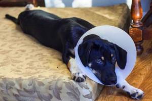 Comment se déroule la convalescence après la stérilisation d'une chienne ?