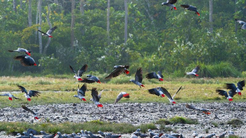 Le statut de la CITES modifié pour le gris du Gabon