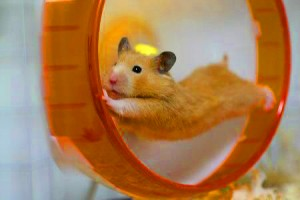 La roue a-t-elle un effet bénéfique sur les hamsters ?