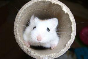 Quels jeux et activités proposer aux hamsters ?
