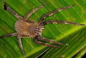 L'araignée banane (Phoneutria Nigriventer)