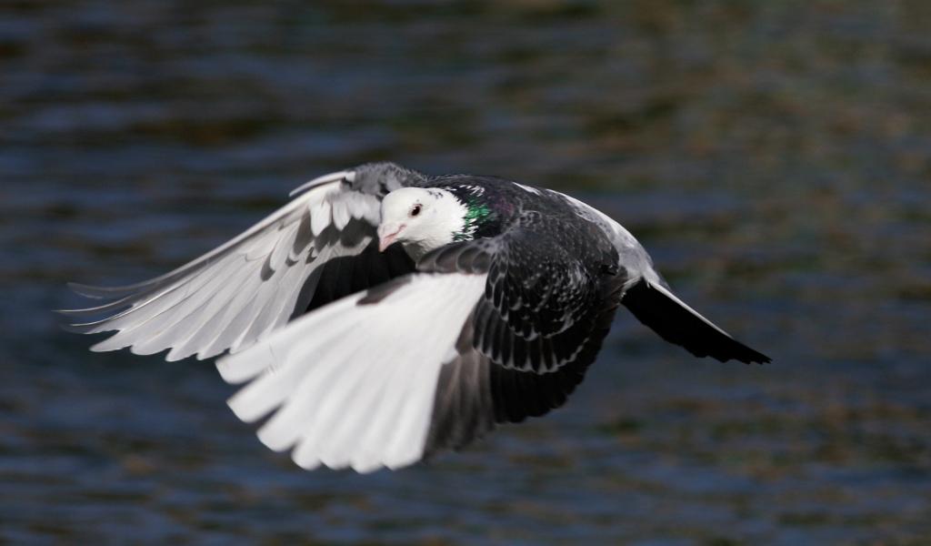 Un pigeon à l'ombre