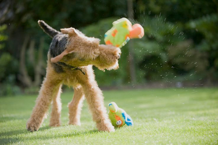 Comportement : pourquoi les chiens secouent-ils leurs jouets ?