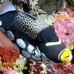 Le Baliste clown, Baliste léopard ou Balistoides conspicillum, un spectaculaire prédateur récifal