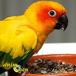 Alimentation : comment nourrir correctement une Conure soleil (Aratinga solstitialis) ?