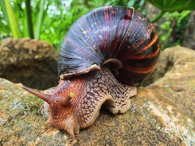 L'escargot géant africain, Achatine, ou Achatine foulque (Achatina fulica) : alimentation, reproduction, maintenance