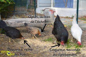La hiérarchie chez les poules et coqs d'un poulailler