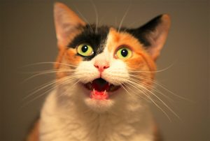 Nos chats comprennent-ils ce que nous essayons de leur miauler ?