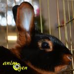 Le Feu Noir, un dynamique lapin nain anglais