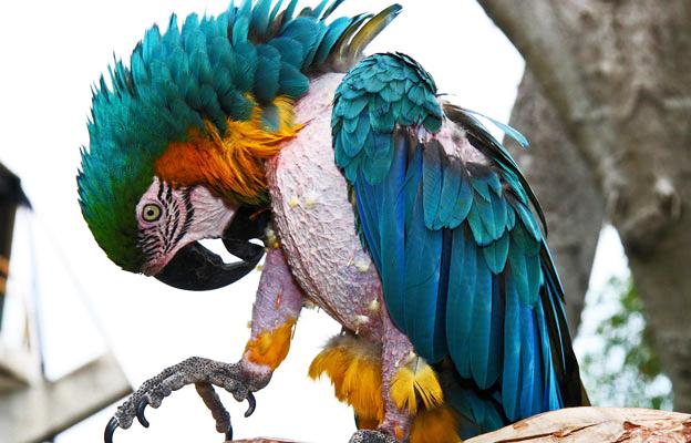 Comportement : le picage chez les perroquets, une nouvelle forme de foraging ?