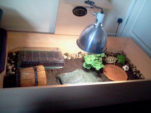 La tortue sillonnée, tortue des savanes ou tortue à éperons (Centrochelys sulcata)