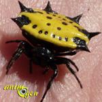 Gasteracantha cancriformis, une épineuse araignée musicienne