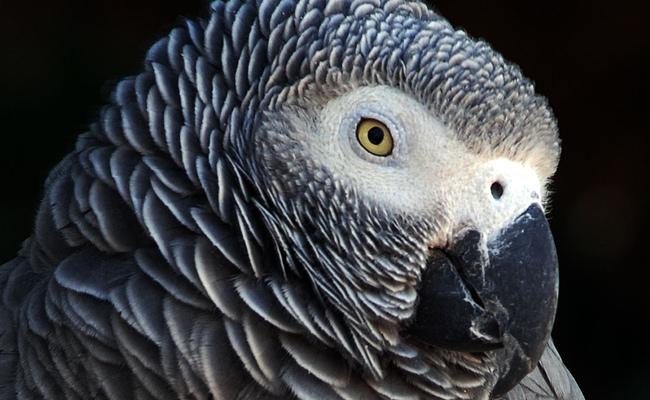 L'impact de la solitude sur l'ADN et l'espérance de vie des perroquets