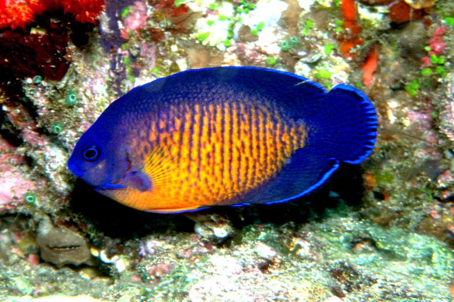 Le poisson ange sombre, ou poisson ange à deux épines (Centropyge bispinosus)