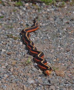 La couleuvre de l'Ouest, couleuvre jarretière des montagnes, ou Thamnophis elegans
