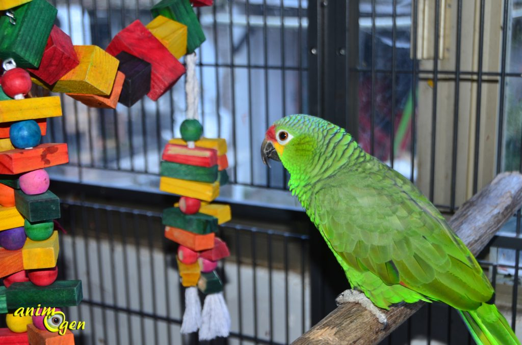 Jouet pour perroquet : le Winston Bridge II (test, avis, prix)