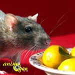 Les effets toxiques des agrumes chez les rats, légende ou réalité ?