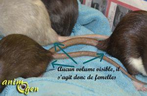 Mâle ou femelle, comment reconnaître le sexe de nos rats de compagnie ?