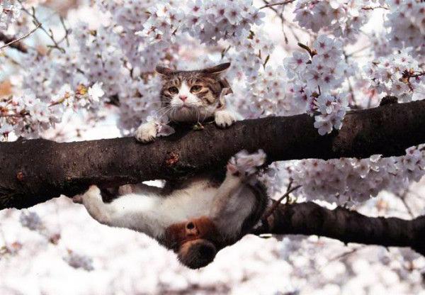 Le Bobtail japonais, chat chrysanthème