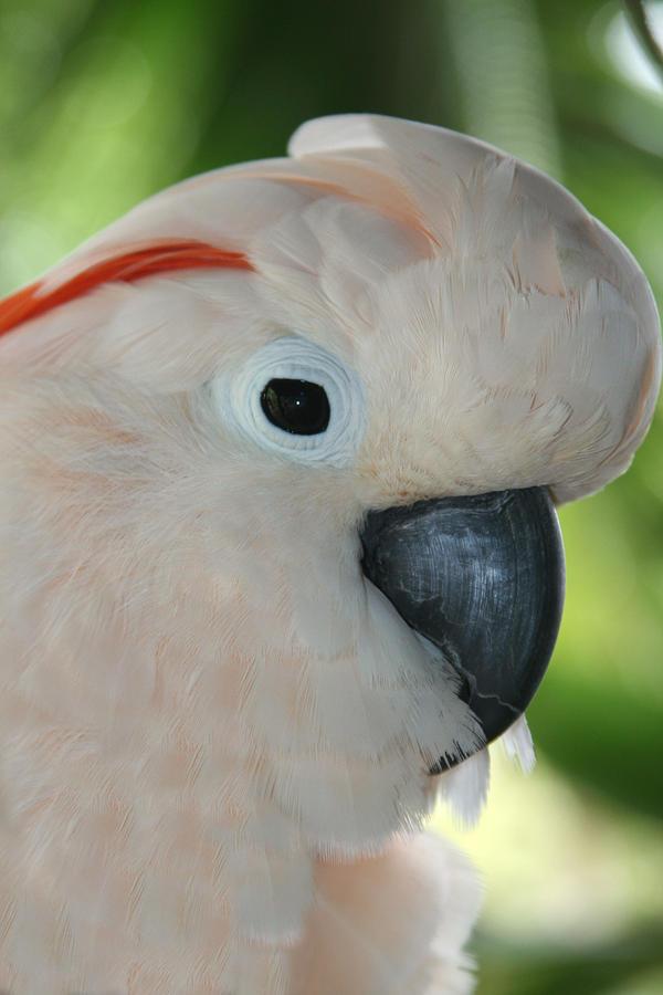 Santé : couleur des yeux et dimorphisme sexuel des Cacatoès suivant l'âge, l'espèce et le sexe